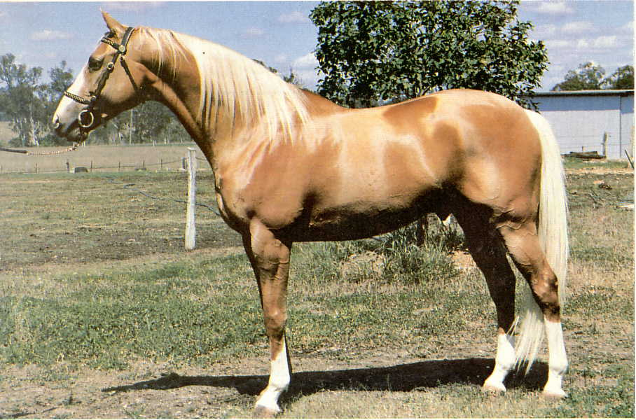 Paint Arabian Stud Australia