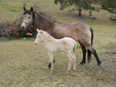 Dashka with perlino colt foal by Sting