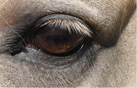 HorseAdvicecom Equine Horse Advice: Cloudy patch in eye